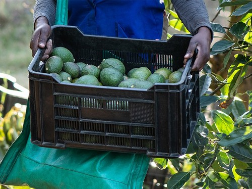 Person carrying avocados in a box