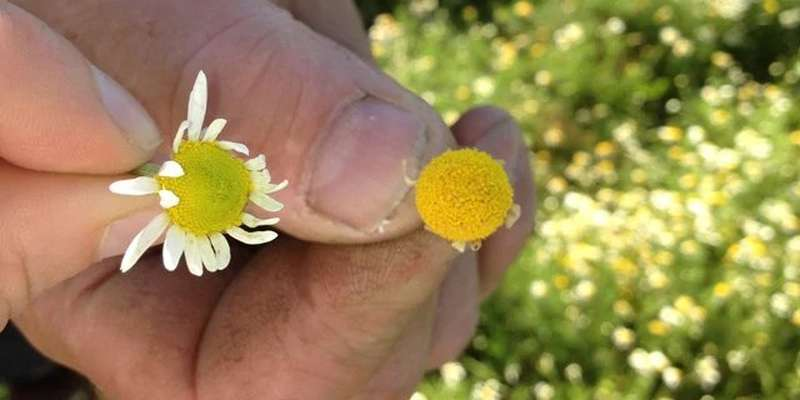 Hand Holding Camomile flower