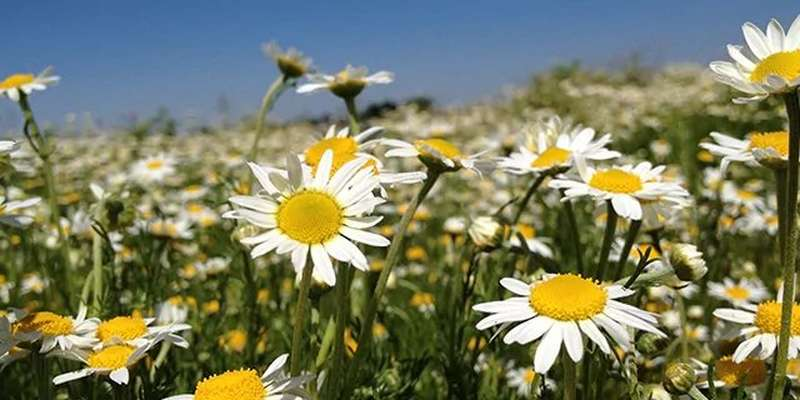 Field of Camomile Flowers