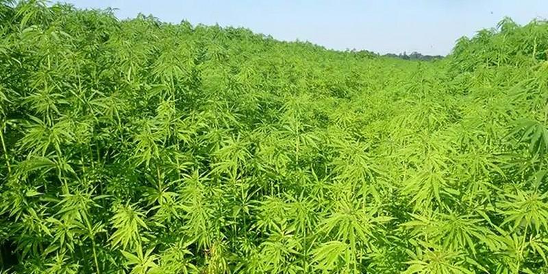 Field of hemp