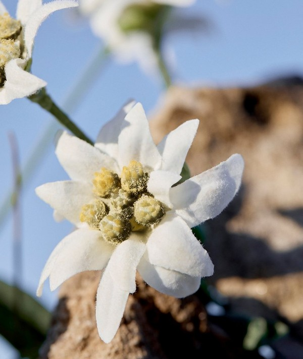 Shot of edelweiss plant growing out of rocky surface