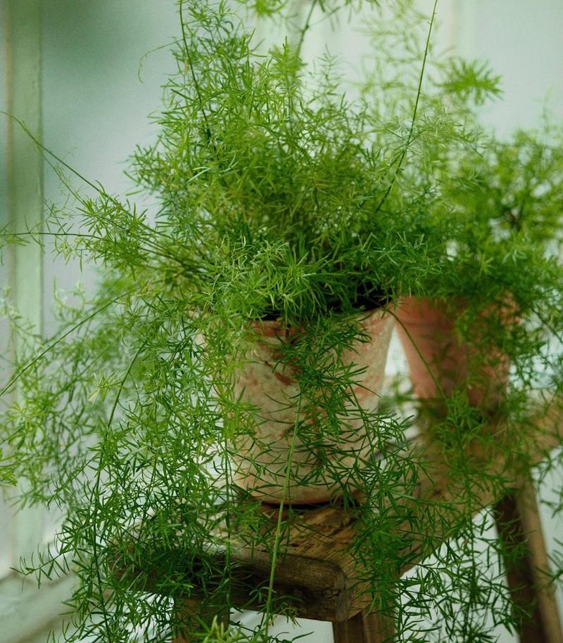 Tea tree-planta