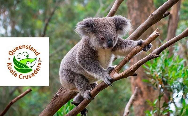 Koala in a tree