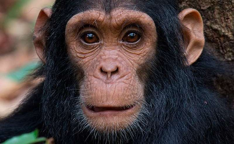 Chimpanzee's face