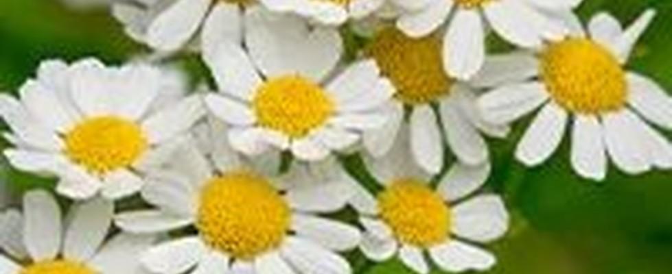 Kamillenpflanzen