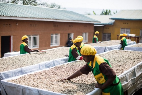 Women working on moringa seeds