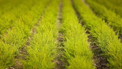 Field of tea tree plants