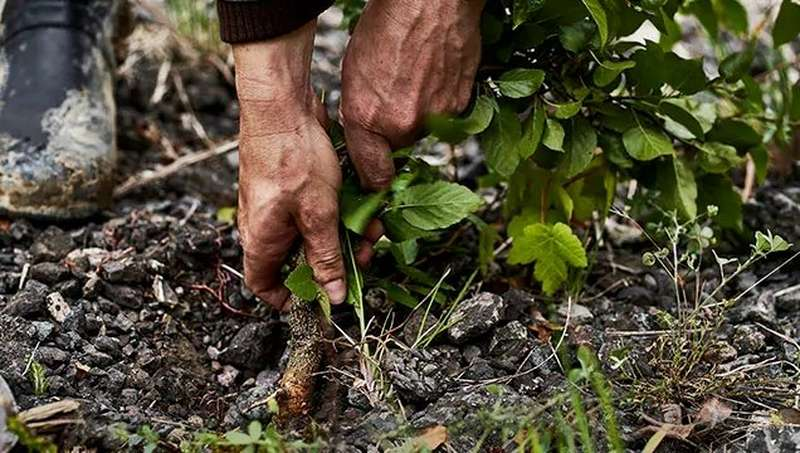 Hands pulling plant from soil